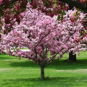 Ornamental Trees for Delmarva